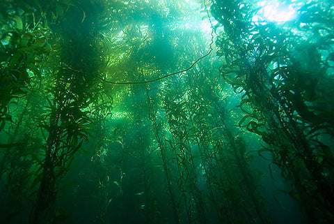 "Kelp forests, ""the rainforests of the sea"""