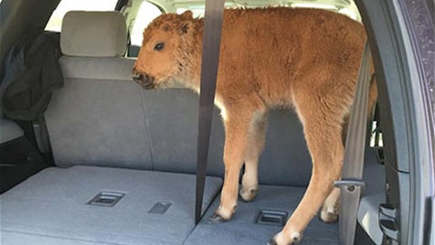 bison calf euthanized after tourists put in car