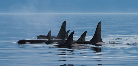 A pod of orca whales swim side-by-side