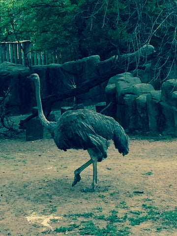 Graceful ostrich strutting by