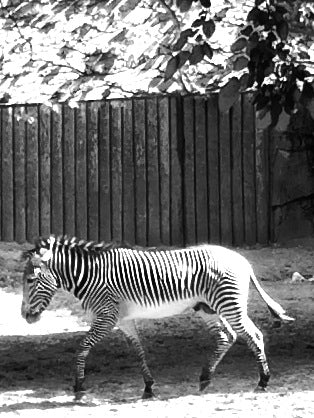 And my personal favorite, the zebra