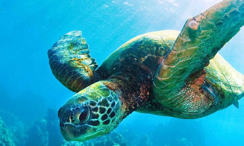 The World Wildlife Fund works to protect sea turtles like this!