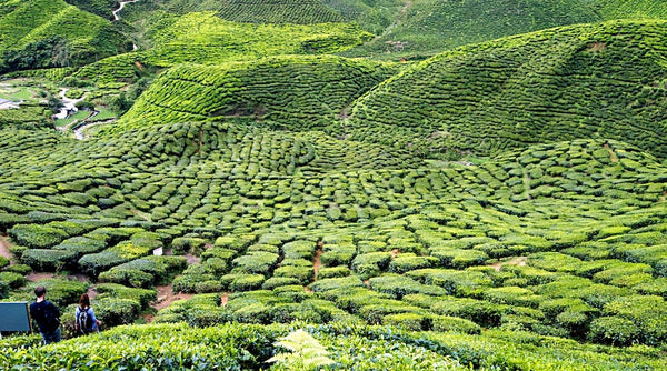 A typical tea garden. © TEAVOLUTION® Manila