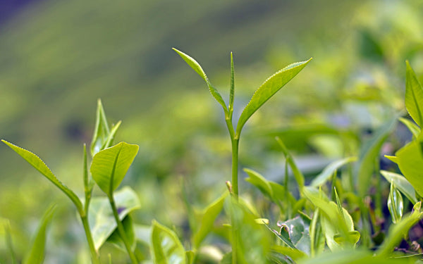 One bud, Two Leaves- the choice part of the tea plant ©TEAVOLUTION® Manila