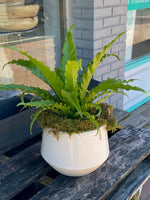 Potted Bird's Nest Fern