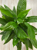 Air Purifiers - Spathiphyllum
