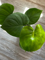 Air Purifiers- Split Leaf Philodendron