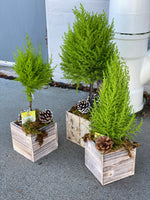 * Seasonal Option * - Potted Cypress Trees and Topiaries