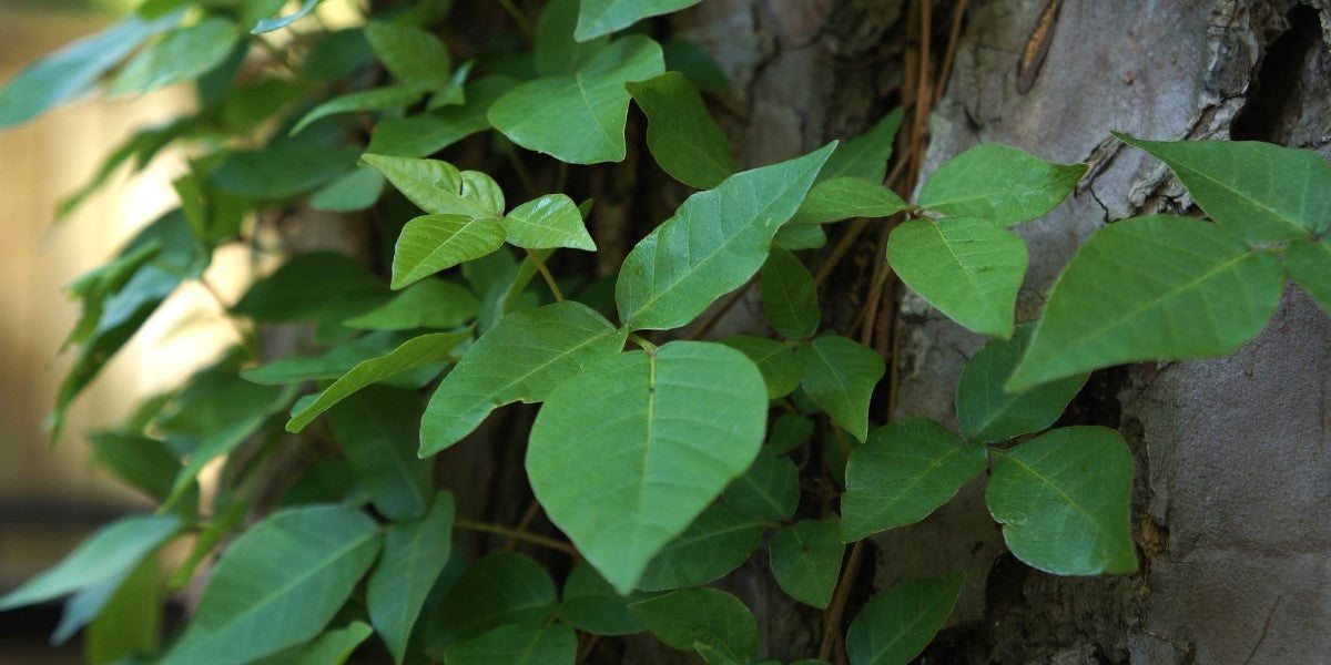 Natural Remedies For Treating Poison Ivy Rash — Woodstock Vitamins