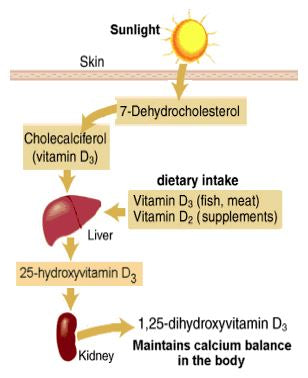 Diagram of how humans produce vitamin D