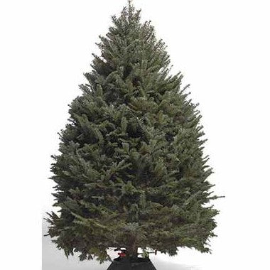 7-8 ft. Canadian Balsam Fir Christmas Tree  (Includes Tree Stand, Delivery, & Installation)