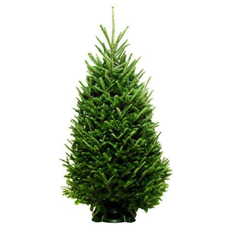 5-6' Fraser Fir Tree - SoHo Trees