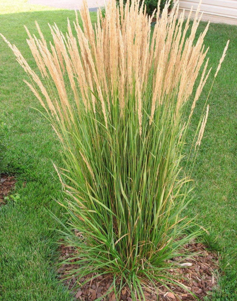 Grass karl forester feather reed six mile nursery for Short grasses for landscaping