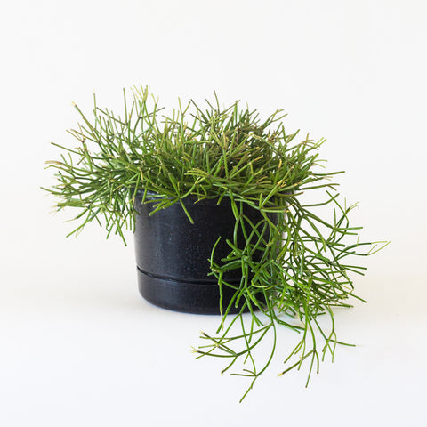mistletoe cactus rhipsalis houseplant garden objects