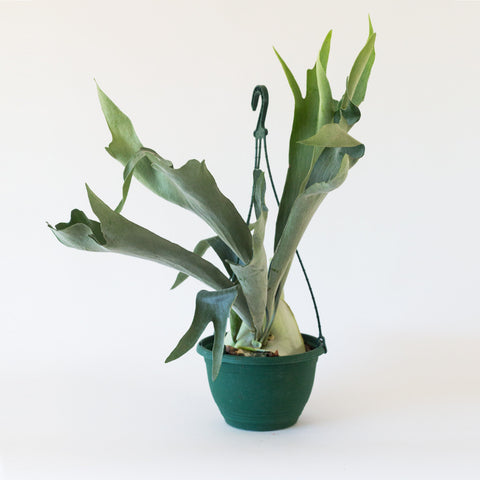 staghorn fern garden objects house plant platycerium