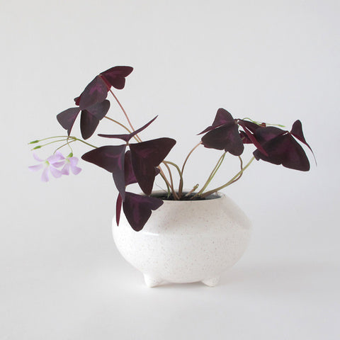 oxalis triangularis grow kit