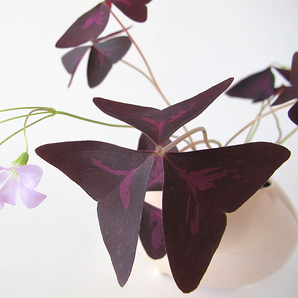 oxalis triangularis bulbs