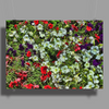 Bed of White Petunias Poster Print (Landscape)