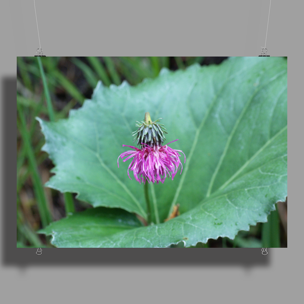 purple bloom Poster Print (Landscape)
