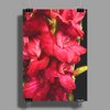 Red Gladiolus on Black Poster Print (Portrait)