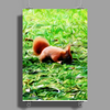 squirrel Poster Print (Portrait)
