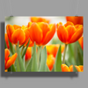Tulip - Group of Orange Poster Print (Landscape)