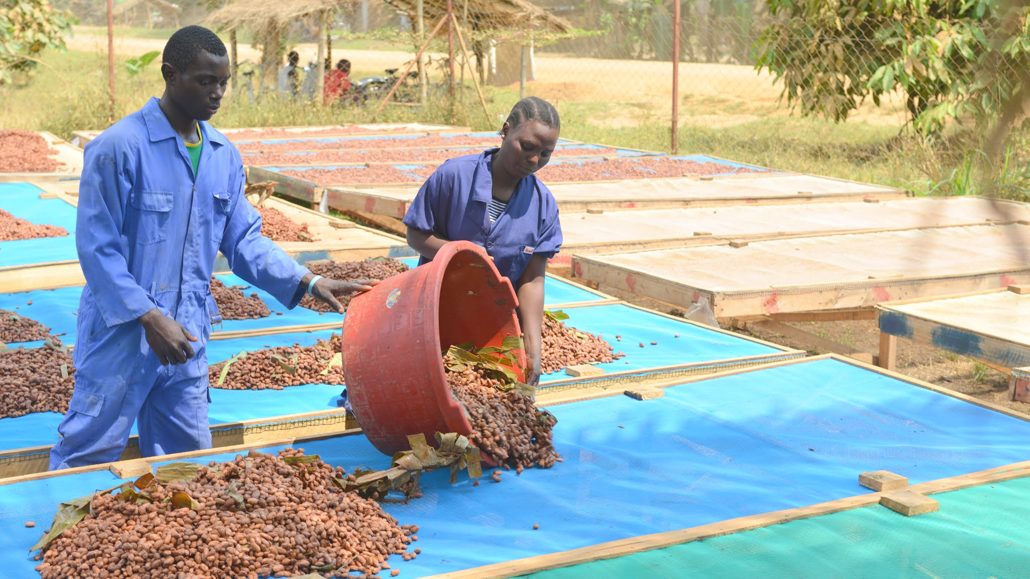 two men spreading out Tanzania cacao