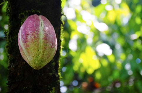 lush green and fuschia cacao pod in the forest