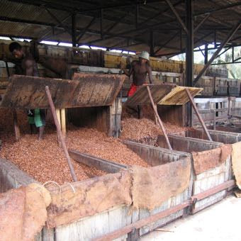 cacao beans in bins
