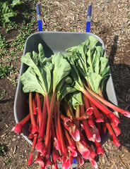 Harvested rhubarb 2016