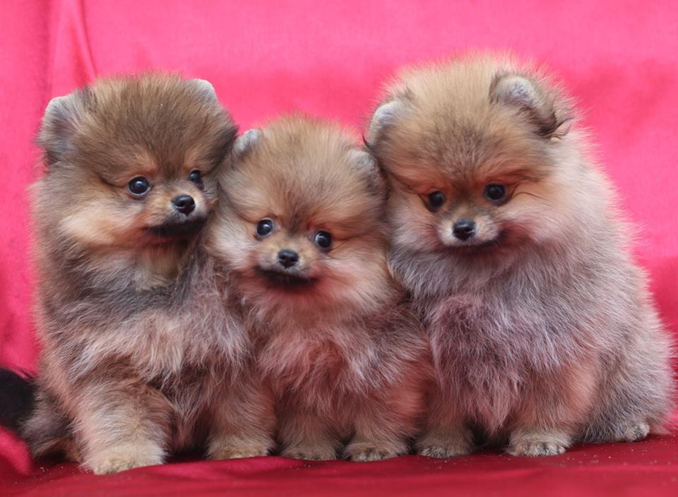 Taking Care of Your Pomeranian