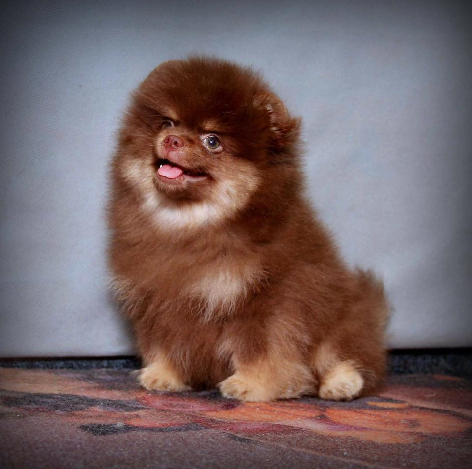 Pomeranian, Intelligence / Trainability