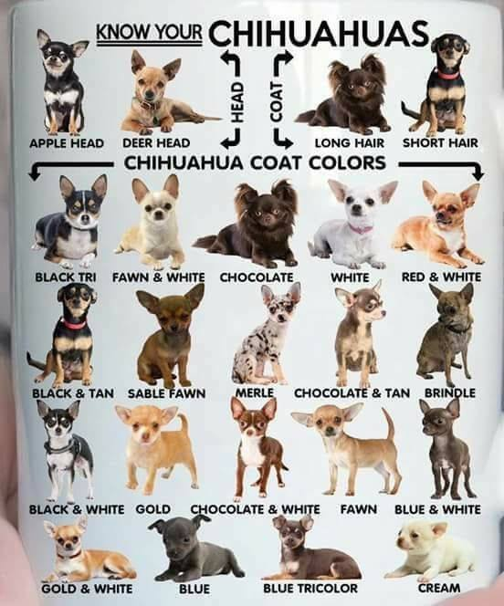 Know Your Chihuahuas