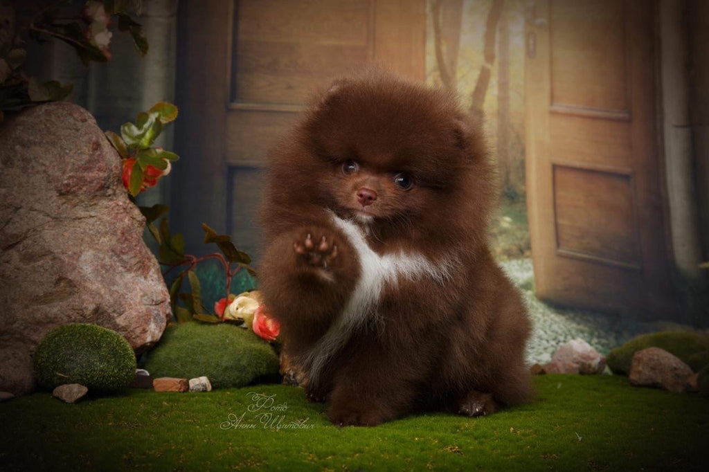 Extra Luxurious Chocolate and white KC boy 'Baloo Bear'