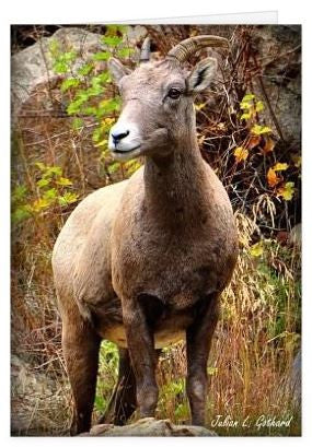 Bighorn on the Lookout Greetings Card
