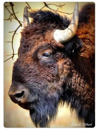 American Bison Fridge Magnet