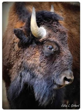 Tatanka Buffalo Fridge Magnet