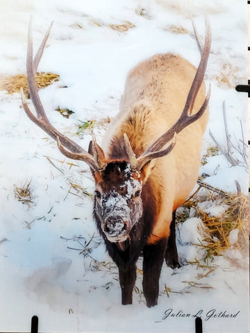 Rocky Mountain Elk in Winter