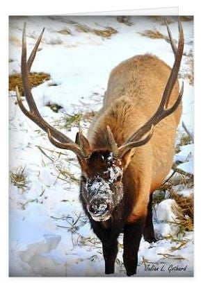Bull Elk Foraging in RMNP Greetings Card