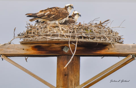 Pair of Western Osprey
