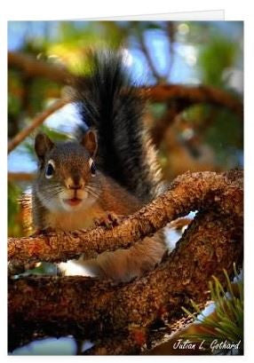 Douglas Squirrel in Lodgepole Pine Greetings Card