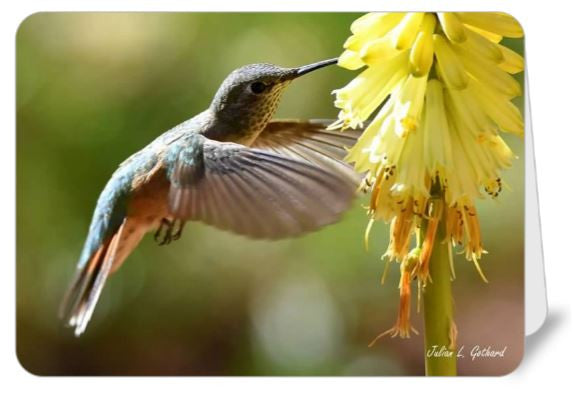 Hummingbird and Red Hot Poker