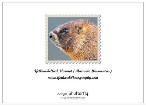 Yellow-bellied Marmot in Tundra