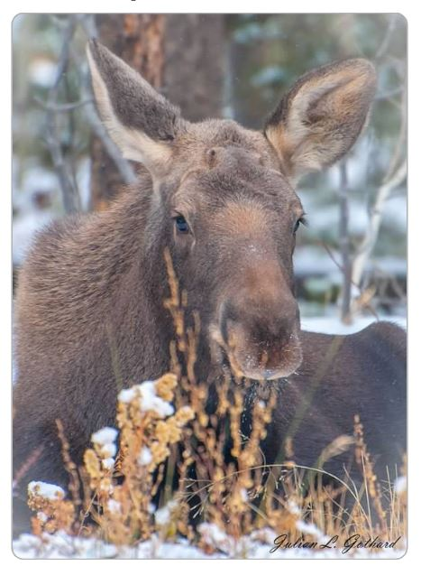 Moose Calf in Snow
