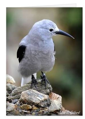 Clark's Nutcracker @ RMNP Greetings Card