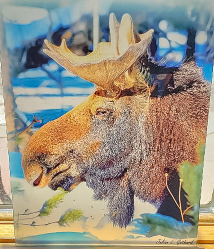Profile of Adam the Bull Moose