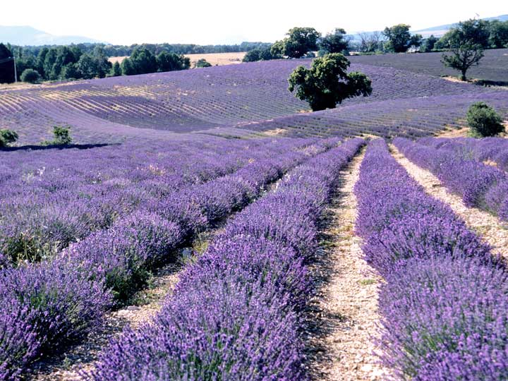Lavender Field in Grasse, France