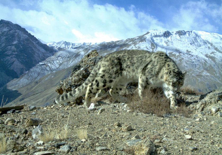 Wild snow leopard in Northern India