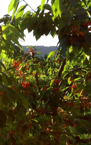 a cherry tree at Taylor's Farm near Inwood, West Virginia