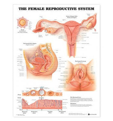 FEMALE REPRODUCTIVE SYSTEM LAMINATED WALL CHART - Charles Darwin University Bookshop